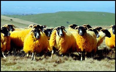 Pecore Arancio